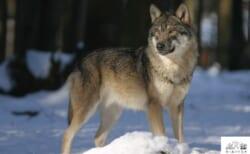 【大竹英洋スライドトーク】開催!「北米ノースウッズにオオカミを探して」