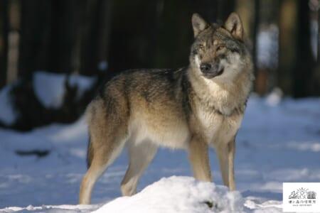 (終了しました)【大竹英洋スライドトーク】開催!「北米ノースウッズにオオカミを探して」